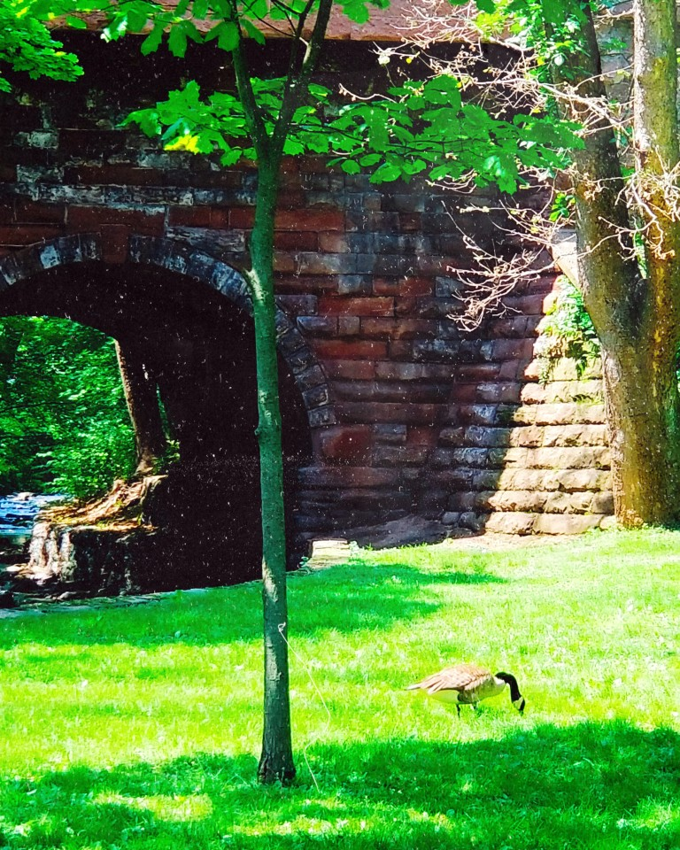 Canadian goose grazes the grass near a large stone bridge arching over a stream.